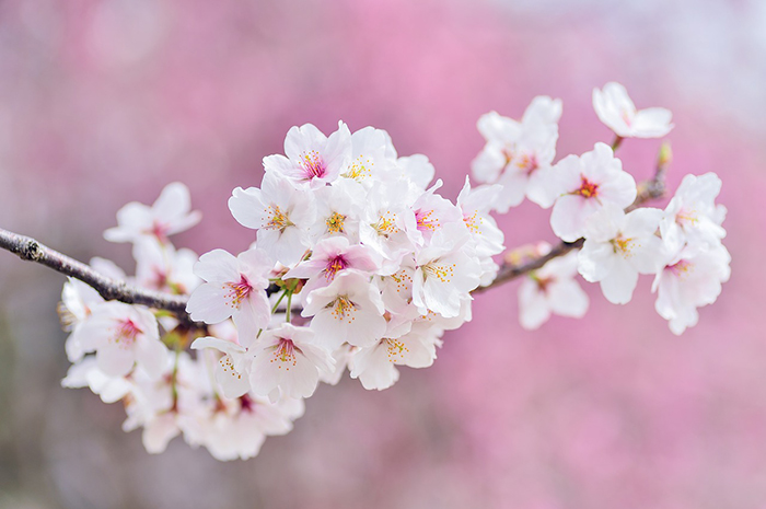 桜の季節はもうすぐそこ! お花見の後は「ミライザカ」へお越しください