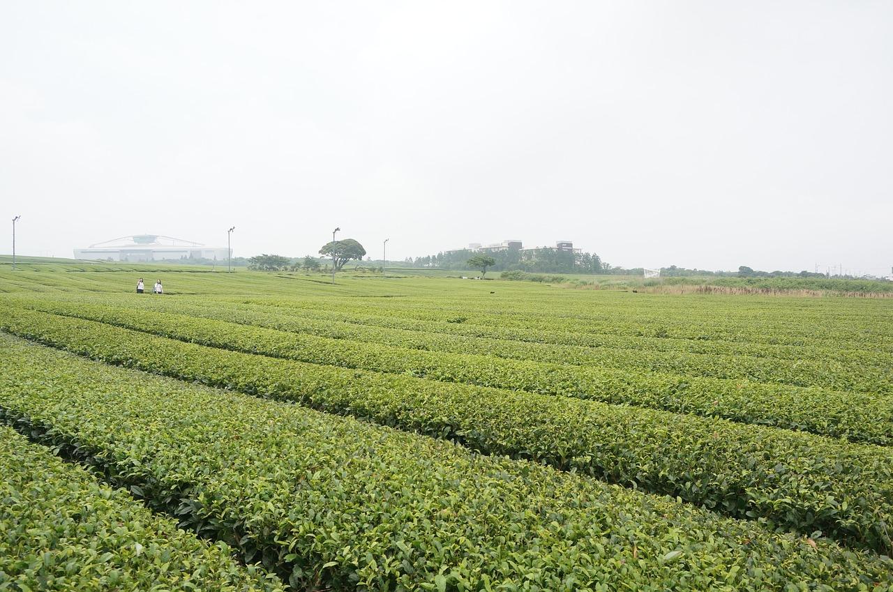 緑茶割は体に良いって本当? 意外と知らないこんな効果が!